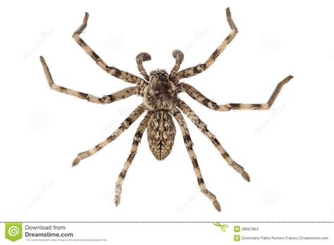 what does a wolf spider look like wolf spider lycosa sp stock images image 28697864