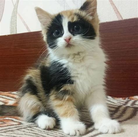 Are All Calico Cats Female