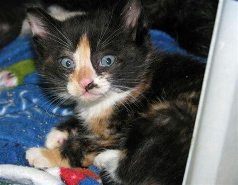 cat names for calicos female cat names calico