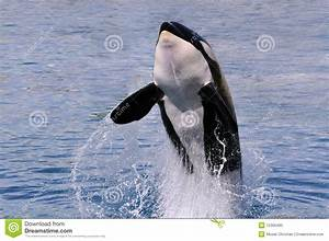 Killer Whale Jumping Out Of Water Royalty Free Stock Photo ...
