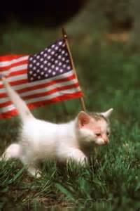 American Flag Cat Kitten