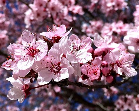 ft mini dwarf prunus nigra tree flowering plum