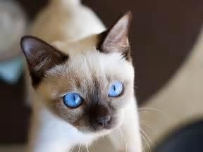 tonkinese cats tonkinese cat cats