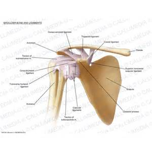 Shoulder Bones and Ligaments