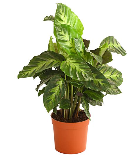 Calathea Blätter Hängen by Calathea Korbmarante Sortenmix Dehner