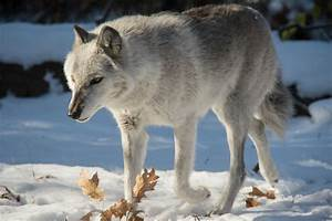 Fear and caring are what's at the core of divisive wolf ...
