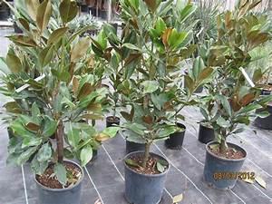 Kübelpflanzen Winterhart Schattig : austropalm palmenspezialbetrieb ~ Michelbontemps.com Haus und Dekorationen