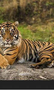 Sumatran Tiger (panthera tigris sumatrae) in captivity ...
