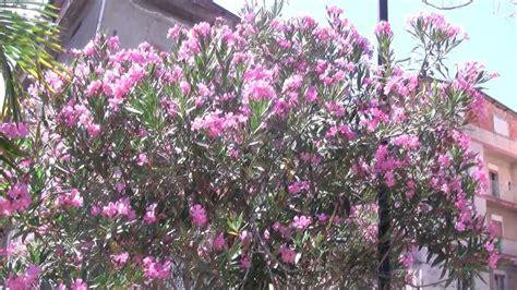 alberi con fiori rosa tree with pink flowers 002 albero con fiori rosa