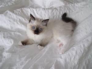 Mit Katze Umziehen : ragdoll baby s herrlich blaue augen mit stammbaum in ~ Michelbontemps.com Haus und Dekorationen