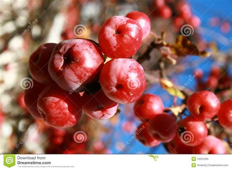 small red fruits frozen   tree royalty  stock