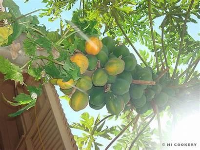 Papaya Trees Buah Animated Islander Pepaya Gifs