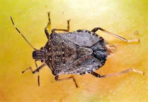 Indiana Common Stink Bug Beetle