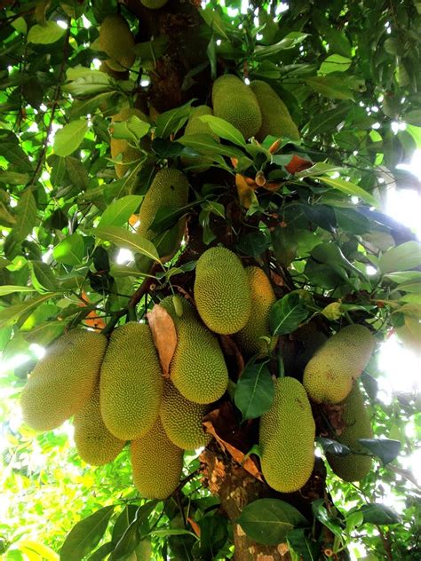 jackfruit high quality wallpapers