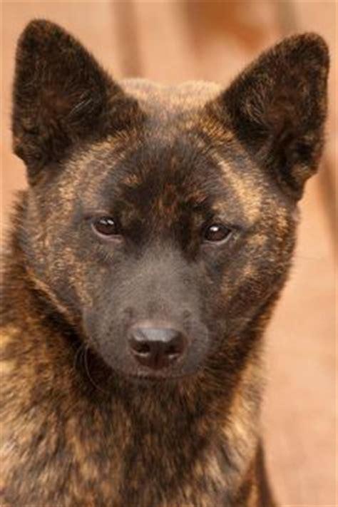 japanese dog names   tosa akita  shiba inu