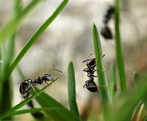 Ameisen Im Rasen Wirksam Bekämpfen : ameisen im rasen bek mpfen die 10 besten tipps ~ Whattoseeinmadrid.com Haus und Dekorationen
