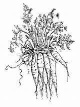 Carrot Coloring Pages Vegetables Garden Carrots Printable Colouring Para Colorear Sheets Recommended Fun Mycoloring sketch template