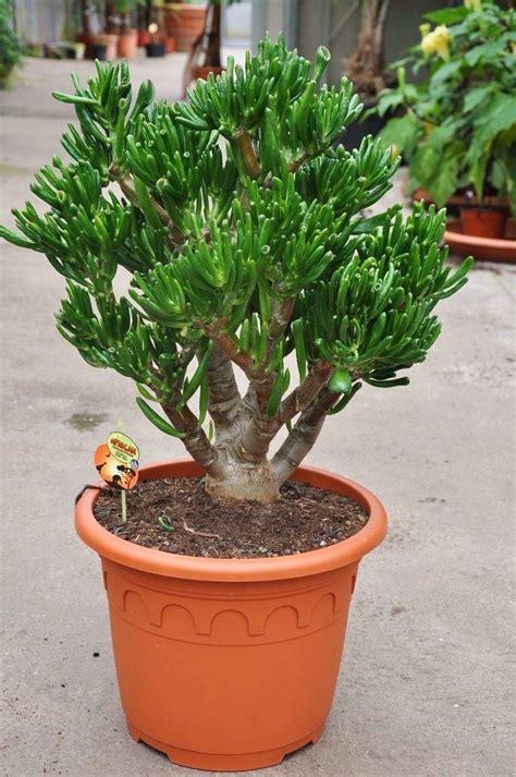 läuse auf zimmerpflanzen dickblatt crassula sukkulenten pflanzen der palmenmann