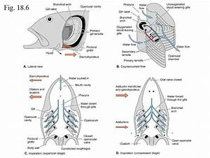 Amazing Free Comparative Anatomy Resource  Also  Sharks