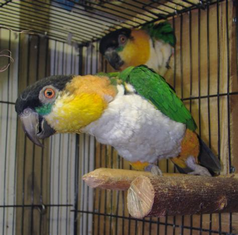 pet parrot file black headed caique adult pets in cage jpg wikipedia
