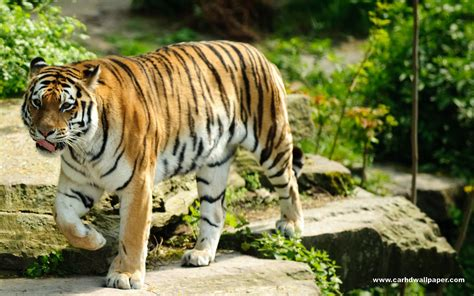 tiger hd wallpaper widescreen hd wallpapers collection