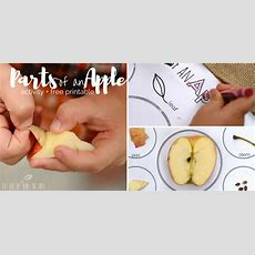 Parts Of An Apple Activity + Free Printable  To Be A Kid