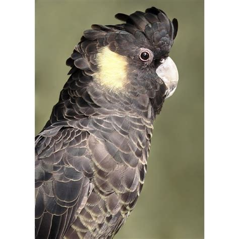 yellow tailed black cockatoo photographic art print