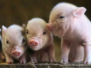 Cute Baby Pigs | I Pigs. And Poms. And other cutie animals ...