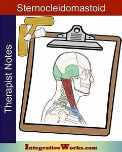 Therapist Notes - Sternocleidomastoid