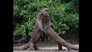 Komodo Dragon Vs Anaconda | www.pixshark.com - Images ...