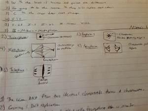 Mitosis Lab  Root Tip