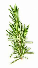 Rosemary Oil Pictures