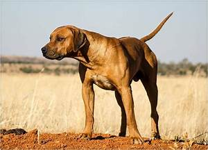Archive: Male Rhodesian Ridgeback puppies Klerksdorp • olx ...