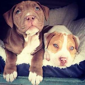 Cute baby pitbulls | The best Dogs ever. | Pinterest ...