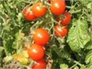 tomate cerise semis plantation culture recolte au jardin With jardin a la francaise photo 7 chayotte christophine ou chouchou legume plantation