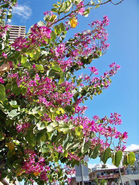 aloha hawaiian flowers    hong kong orchid tree bauhinia blakeana