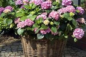 Hortensien Pflege Balkon : hortensien pflege ~ Lizthompson.info Haus und Dekorationen
