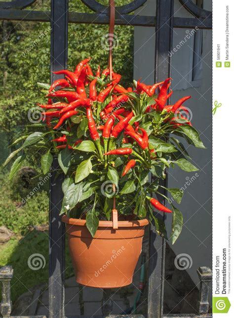 comment cuisiner les tomates vertes culture poivron en pot 28 images planter des tomates