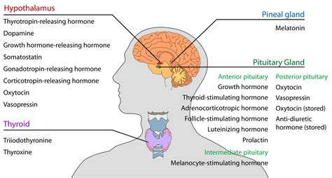 Holistic Guide To Healing The Endocrine System And