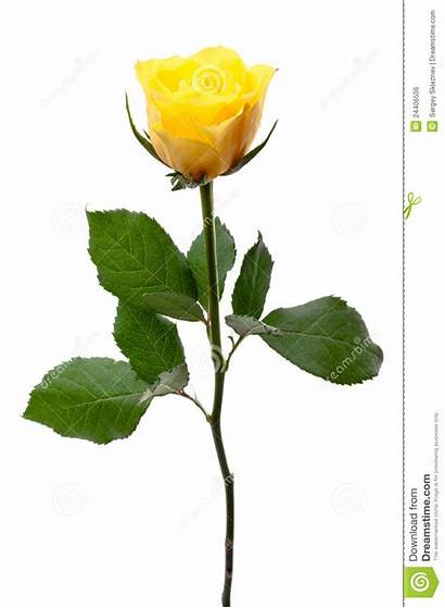 Rose Yellow Single Clipart Bud Clip Background