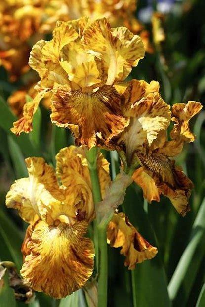 iris quot hotdog and mustard quot iris irises
