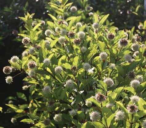Guzikowiec zachodni (Cephalanthus occidentalis) - rosliny ...