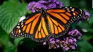 Monarch Butterfly Population Plummets 86  In One Year In California
