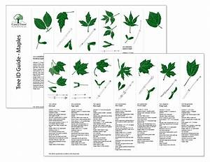 Maple tree id guide | Garden Ideas | Pinterest | Trees ...
