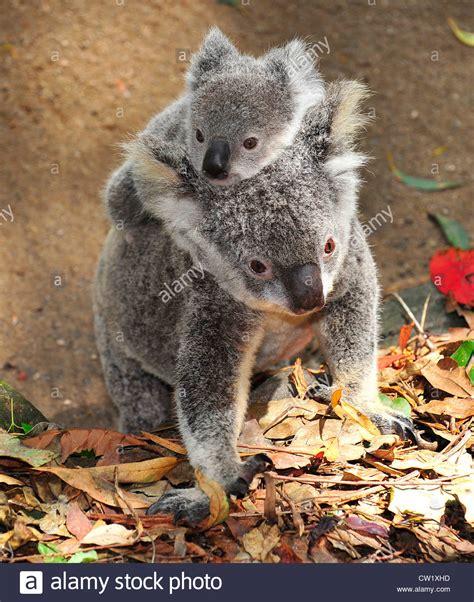 Le Koala Mère Avec Mignon Bébé Joey Sur Son Dos,marche Port Macquarie, New South Wales