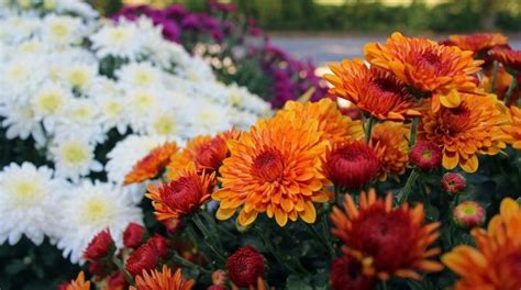 when to plant mums chrysanthemums when to plant mums the old farmer s almanac