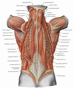 Know Thyself  The Back Muscles