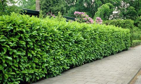 hedge bushes 5 evergreen laurel hedge plants groupon goods