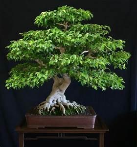 Pflanzen Die Kein Licht Brauchen : zimmerpflanzen die wenig licht brauchen bonsai baum ~ Lizthompson.info Haus und Dekorationen