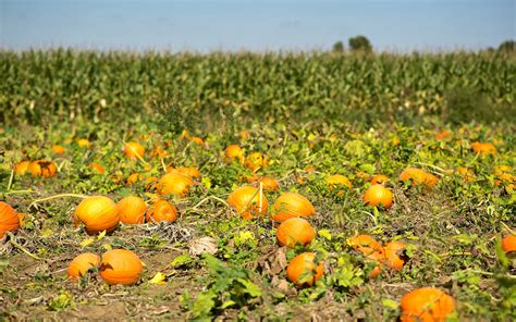 Pumpkin Patch Nj Chester by Where To Go Pumpkin Picking In Nj Travel Leisure